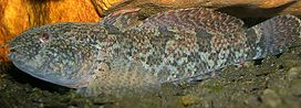 Proterorhinus semilunaris, the Netherlands - 20051030.jpg