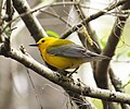 Prothonotary Warbler (14712417443).jpg