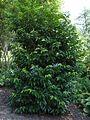 Prunus lusitanica 2.jpg