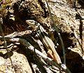 Psammadromus algiras - Flickr - gailhampshire (3).jpg