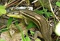 Psammadromus algirus. (32463652646).jpg