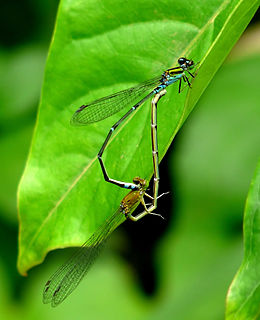 <i>Pseudagrion</i> genus of insects