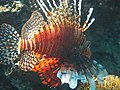 Pterois mombasae Swimming in a Reef.jpg
