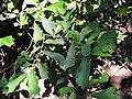 Pterospermum reticulatum-2-mundanthurai-tirunelveli-India.jpg
