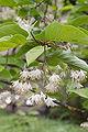 Pterosyrax corymbosus fleurs.jpg