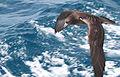 Puffinus carneipes -New Zealand -flying-8b.jpg