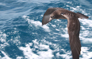 Flesh-footed shearwater Species of bird