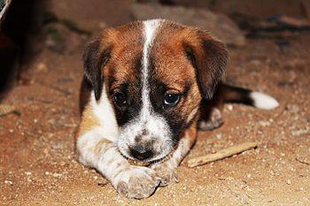 Puppy at home hyderabad.jpg