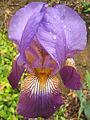 Purple-IrisPenu nn.jpg