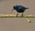 Purple Sunbird (Nectarinia asiatica)- Male (Breeding) with tongue sticking out, in Kolkata I IMG 1887.jpg