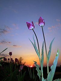 Photo of some purple tulips during sunset. Tak...