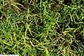 Pycnanthemum tenuifolium 4zz.jpg