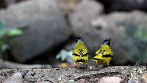 File:Pycnonotus atriceps trio - Kaeng Krachan.ogv