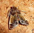 Pyralis farinalis. Meal moth - Flickr - gailhampshire (1).jpg