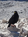 Pyrrhocorax graculus -Alps, Europe-8.jpg