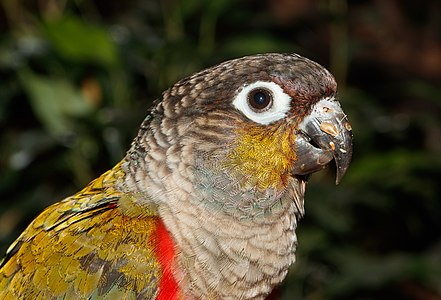 A Crimson-bellied parakeet, Pyrrhura perlata, Karlsruhe Zoo
