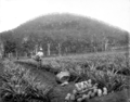 Queensland State Archives 2618 Training farm Beerburrum January 1920.png