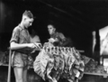 Queensland State Archives 4205 Stringing tobacco leaf c 1938.png