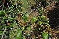 Quercus agrifolia-6.jpg