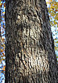 Quercus alba white oak bark.jpg