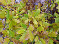 Quercus faginea xQ. pyrenaica Leaves 2009December13 DehesaBoyaldePuertollano.jpg