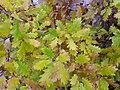 Quercus faginea xQ. pyrenaica Leaves 2009December13 DehesaBoyaldePuertollano.jpg