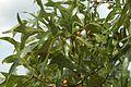 Quercus laevis (24077220872).jpg
