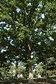 Quercus macrocarpa (23797146829).jpg