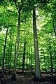 Quercus petraea Z Baum.jpg