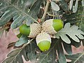 Quercus pyrenaica 20150812b.jpg