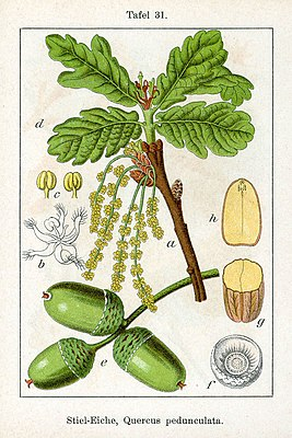 Stiel-Eiche (Quercus robur), Illustration
