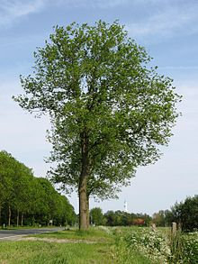 RN Ulmus hollandica Commelin summer.JPG