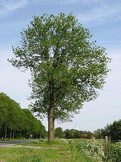 <i>Ulmus</i> × <i>hollandica</i> Commelin Elm cultivar