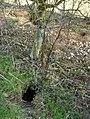 Rabbit burrows - geograph.org.uk - 327313.jpg
