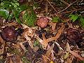 Rafflesia sp Kinabalu2.jpg