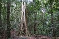 Rainforest, Noosa National Park.jpg