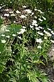 Ranunculus platanifolius (Platanen-Hahnenfuß) IMG 3503.JPG