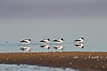 Red-necked Avocets (21121276224).jpg