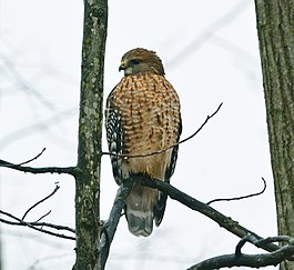 Red-shouldered Hawk (Buteo lineatus) (15454317283).jpg