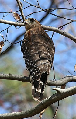 Red-shouldered hawk in Dunwoody.jpg