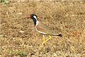 Red-wattled Lapwing (Vanellus indicus). Jamnagar, Gujarat. DPP 0054.jpg
