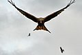 Red Kite - Gigrin Farm Wales (10347304673).jpg