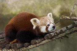 El panda rojo - el animal más lindo