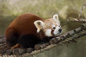 Red panda (Ailurus fulgens) in Munich Zoo Fran...