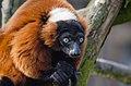 Red Ruffed Lemur (17023091691).jpg