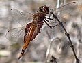 Red Saddlebags, female.jpg