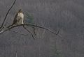 Red Tailed Hawk Looking Over Kings Forest Park.JPG