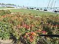 Red flowers and the Fisherman, Ferryman Statue. - Tagore Promenade, Balatonfüred.JPG