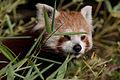 Red panda (3956007373).jpg
