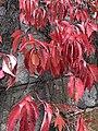 Red vines (31424700978).jpg